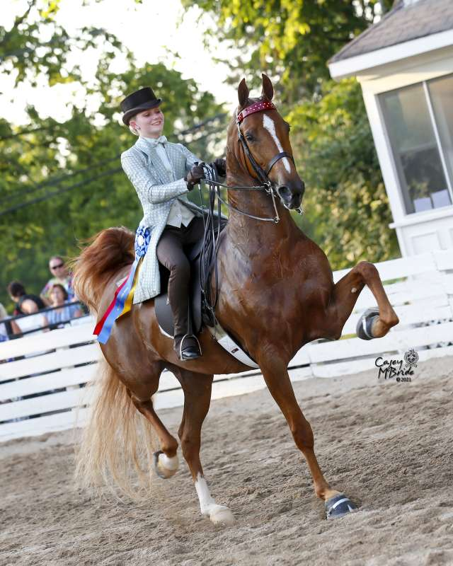My Gifted Lady Saddlebred Horse for Sale