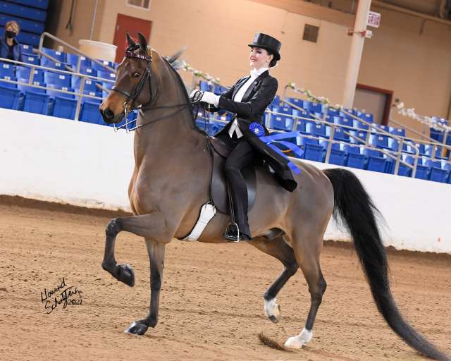 Don't Blink GCH Morgan Horse for Sale