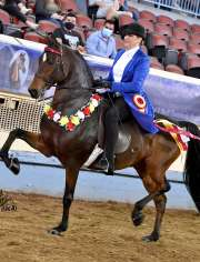 Clayhill Affirmative GCH Morgan Horse for Sale