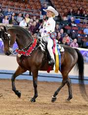 Hylee's Pin Oak Dude CH Morgan Horse for Sale