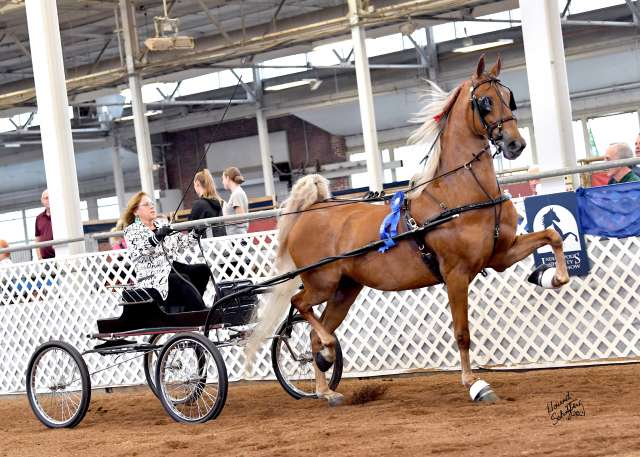 My Crazy Ex Girlfriend Saddlebred Horse for Sale