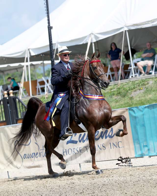 Arrowhead's Bewitched Saddlebred Horse for Sale