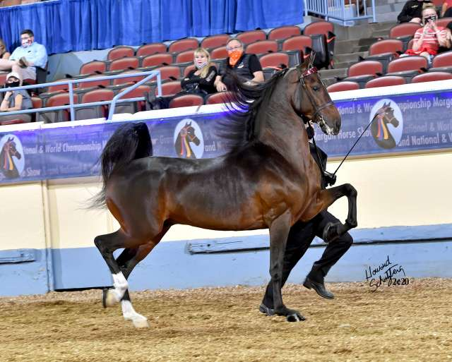 Late Night Decision Morgan Horse for Sale