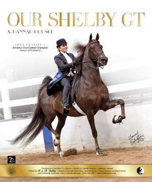 Our Shelby GT Saddlebred